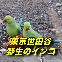 インコが東京都世田谷区で野生化し群れをなして生活【爆報フライデー】